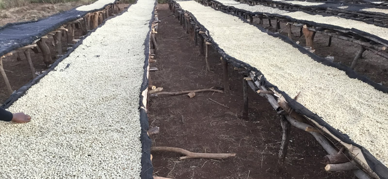 Drying coffee on a Zambian farm